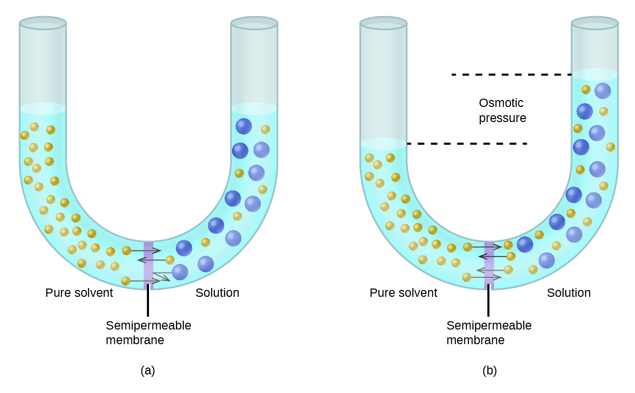 The figure shows two U shaped tubes with a semi permeable membrane placed at the base of the U. In figure a, pure solvent is present and indicated by small yellow spheres to the left of the membrane. To the right, a solution exists with larger blue spheres intermingled with some small yellow spheres. At the membrane, arrows pointing from three small yellow spheres on both sides of the membrane cross over the membrane. An arrow drawn from one of the large blue spheres does not cross the membrane, but rather is reflected back from the surface of the membrane. The levels of liquid in both sides of the U shaped tube are equal. In figure b, arrows again point from small yellow spheres across the semipermeable membrane from both sides. This diagram shows the level of liquid in the left, pure solvent, side to be significantly lower than the liquid level on the right. Dashed lines are drawn from these two liquid levels into the middle of the U-shaped tube and between them is the term osmotic pressure.