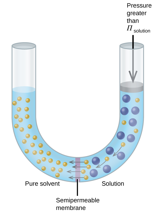 """The figure shows a U shaped tube with a semi permeable membrane placed at the base of the U. Pure solvent is present and indicated by small yellow spheres to the left of the membrane. To the right, a solution exists with larger blue spheres intermingled with some small yellow spheres. At the membrane, arrows point from four small yellow spheres to the left of the membrane. On the right side of the U, there is a disk that is the same width of the tube and appears to block it. The disk is at the same level as the solution. An arrow points down from the top of the tube to the disk and is labeled, """"Pressure greater than Π subscript solution."""""""