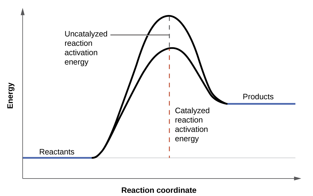 """A graph is shown with the label, """"Reaction coordinate,"""" on the x-axis. The x-axis is depicted as an arrow. The y-axis is also an arrow and is labeled, """"Energy."""" There is a horizontal line that runs the width of the graph and appears just above the x-axis. A segment of this line is blue and is labeled, """"Reactants."""" From the right end of this line segment, a solid black, concave down curve is shown which reaches the level just below the end of the y-axis. The curve ends at another short, blue line labeled, """"Products."""" The """"Products"""" line appears at a higher level than the """"Reactants"""" line. An arrow extends from the horizontal line to the apex of the curve. The arrow is labeled, """"Uncatalyzed reaction activation energy."""" A second, black concave down curve is shown. This curve also meets the reactants and products blue line segments, but only extends to about two-thirds the height of the initial curve. From the horizontal line is another arrow pointing to the apex of the second curve. This arrow is labeled, """"Catalyzed reaction activation energy."""""""