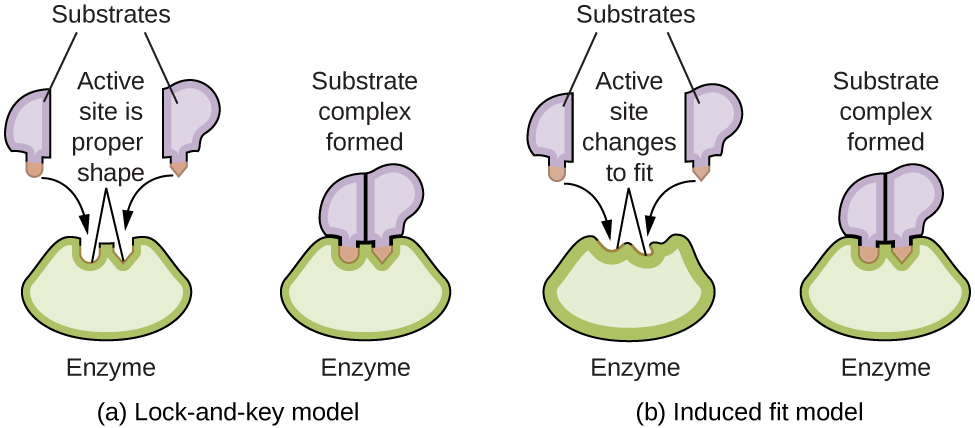"""A diagram is shown of two possible interactions of an enzyme and a substrate. In a, which is labeled """"Lock-and-key,"""" two diagrams are shown. The first shows a green wedge-like shape with two small depressions in the upper surface of similar size, but the depression on the left has a curved shape, and the depression on the right has a pointed shape. This green shape is labeled """"Enzyme."""" Just above this shape are two smaller, irregular, lavender shapes each with a projection from its lower surface. The lavender shape on the left has a curved projection which matches the shape of the depression on the left in the green shape below. This projection is shaded orange and has a curved arrow extending from in to the matching depression in the green shape below. Similarly, the lavender shape on the right has a projection with a pointed tip which matches the shape of the depression on the right in the green shape below. This projection is shaded orange and has a curved arrow extending from in to the matching depression in the green shape below. Two line segments extend from the depressions in the green shape to form an inverted V shape above the depressions. Above this and between the lavender shapes is the label, """"Active site is proper shape."""" The label """"Substrates"""" is at the very top of the diagram with line segments extending to the two lavender shapes. To the right of this diagram is a second diagram showing the lavender shapes positioned next to each other, fit snugly into the depressions in the green shape, which is labeled """"Enzyme."""" Above this diagram is the label, """"Substrate complex formed."""" In b, which is labeled """"Induced fit,"""" two diagrams are shown. The first shows a green wedge-like shape with two small depressions in the upper surface of similar size, but irregular shape. This green shape is labeled """"Enzyme."""" Just above this shape are two smaller irregular lavender shapes each with a projection from its lower surface. The lavender shape on the left has a curved p"""