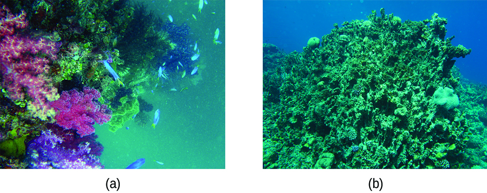 This figure contains two photographs of coral reefs. In a, a colorful reef that includes hues of purple and pink corals is shown in blue green water with fish swimming in the background. In b, grey-green mossy looking coral is shown in a blue aquatic environment. This photo does not have the colorful appearance or fish that were shown in figure a.