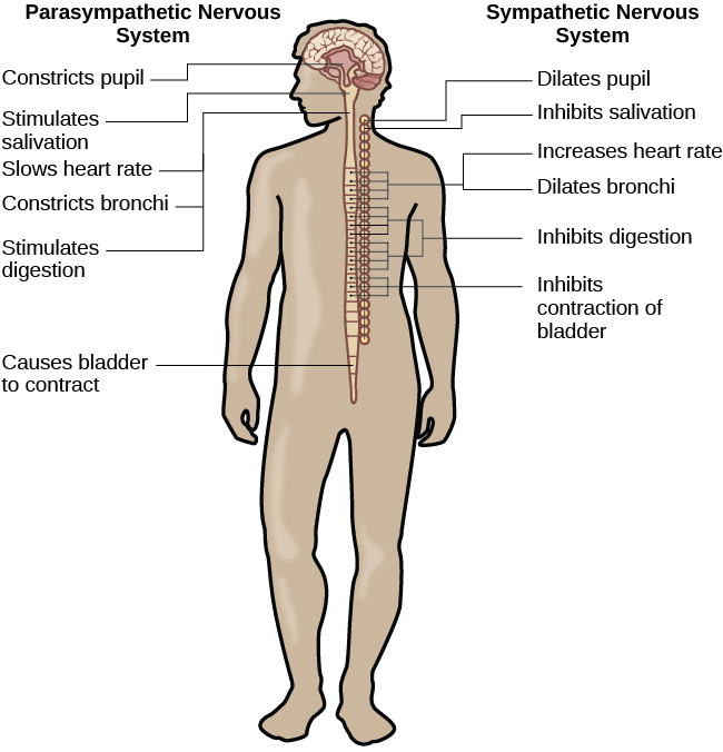 nervous systems function and survival We propose that survival strategies are influenced by  given these roles, the  dlpfc is an important part of.