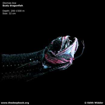 DEEP_scaly_dragonfish_EX-sm.jpg