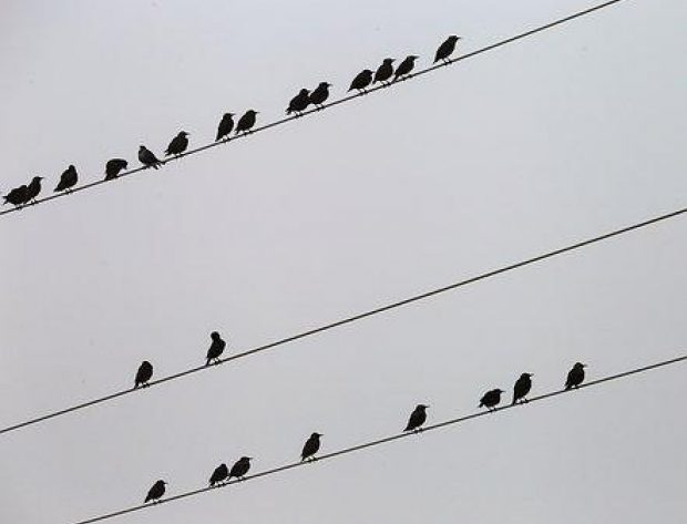 birds on an electric wire