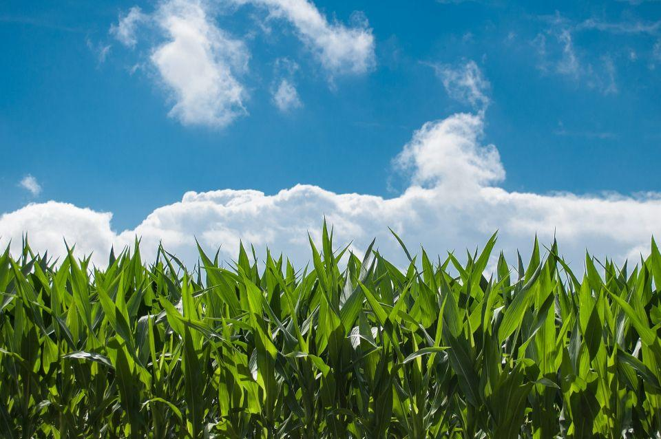 cornfield with clouds and blue sky