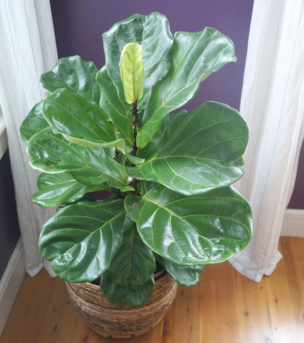 fiddle-leaf-fig-3