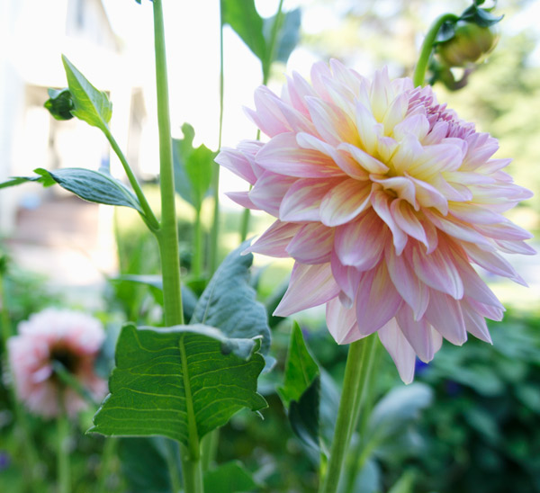 Growing Dahlias for Beginners via Year of Serendipity