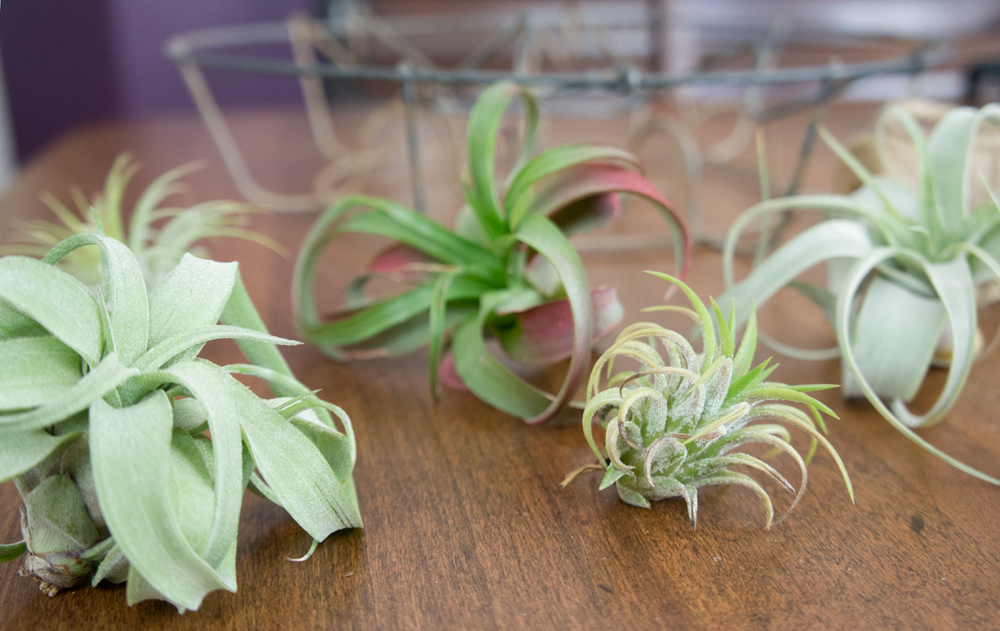 jar-caddy-air-plants
