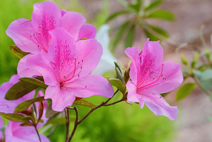 flores azaleas invierno