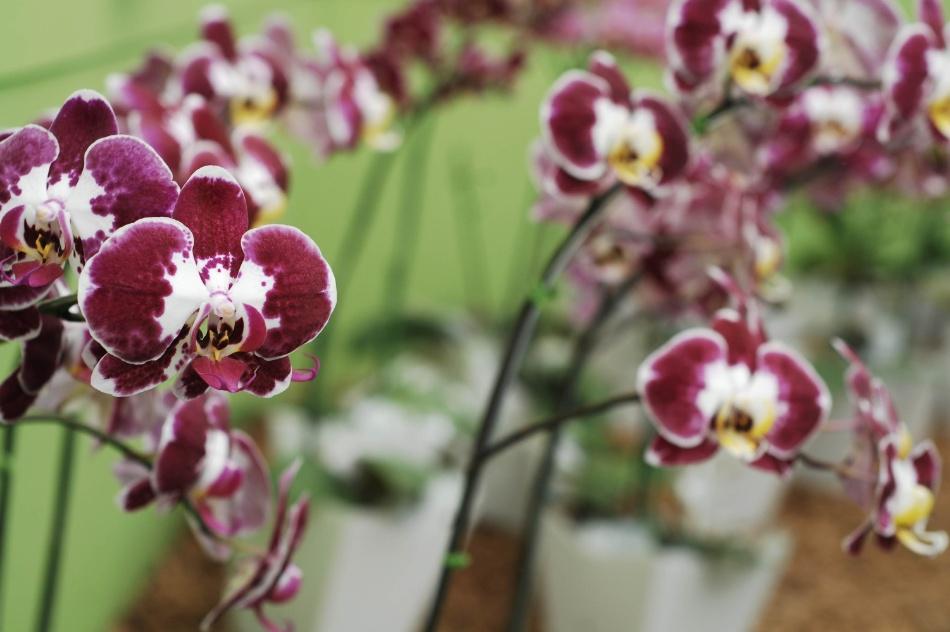 orquidea-phalaenopsis---aflord-2012-1346871757415_950x632