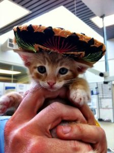 Tiny orange kitten in a sombrero
