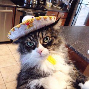 A fluffy cat in a sombrero