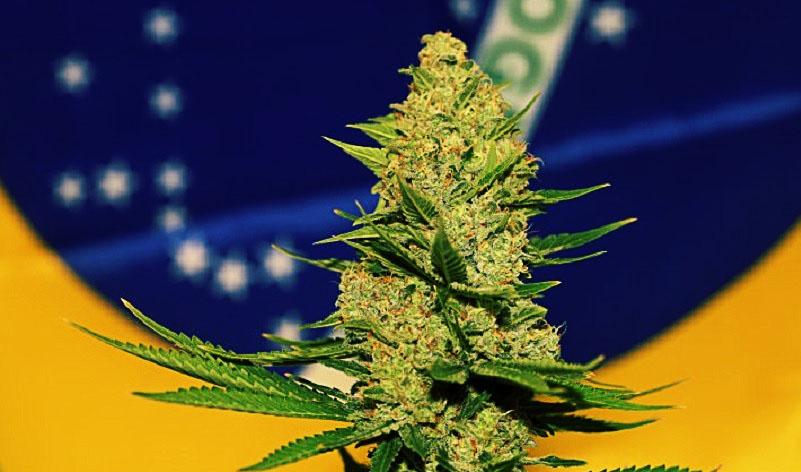 maconha medicinal cannabis canabis brasil brazil libera maconha