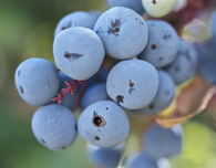 Oregon Grape Syrup