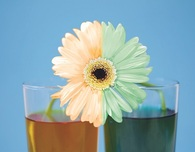Colored Petals: Science Experience for Kids
