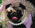 pug in costume at bark in the park contest