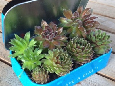 altoid mint tin projects, altoid mint tin, succulent plants, succulents in altoid tin, mini garden