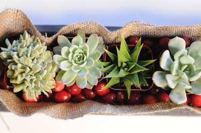 Succulent cranberry planter