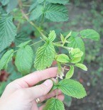 How to care for raspberry bushes