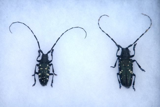Asian Longhorned Beetle.