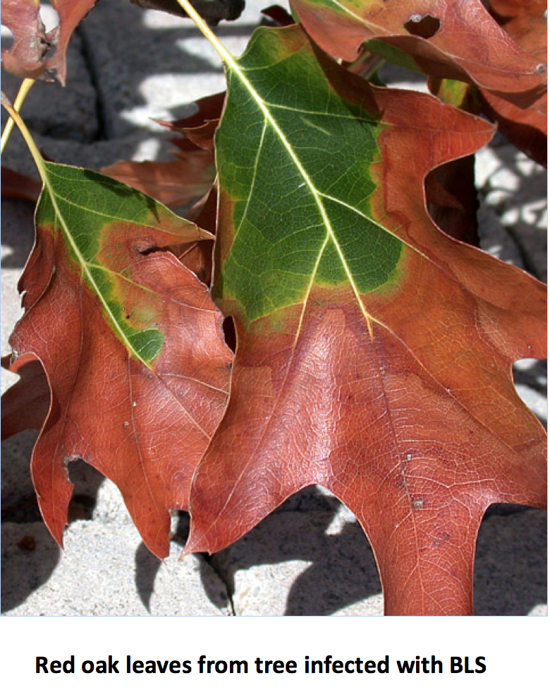 ed oak leaves from tree infected with BLS