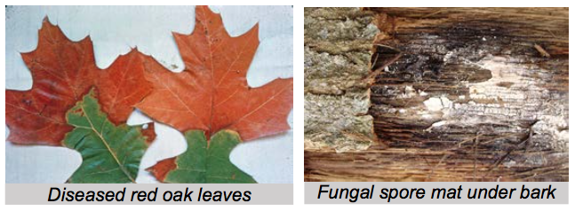 Signs of Oak Wilt