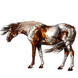 Riding Horse Appaloosa Chestnut Spotted Blanket