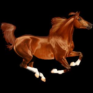 Koń wierzchowy Koń czystej krwi arabskiej Myszata