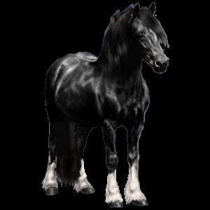 Pony Welsh Black