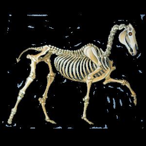 Koń wierzchowy Criollo Ciemnogniada derka z plamkami