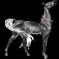 Riding Horse Akhal-Teke Dapple Grey