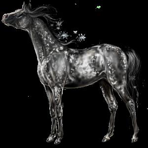 Koń wierzchowy Koń luzytański Ciemnogniada
