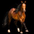 Koń wierzchowy Koń czystej krwi arabskiej Kara