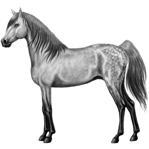 Riding Horse Shagya Arabian Dapple Gray