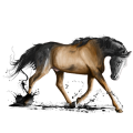 Cheval de selle Arabe Bai Brûlé