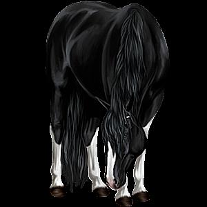 Riding Horse Quarter Horse Black