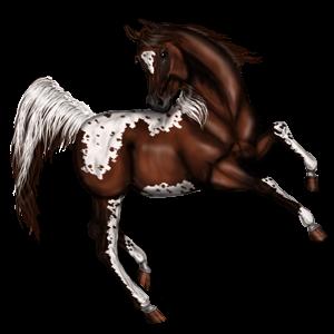 Riding Horse Appaloosa Bay Snowflake