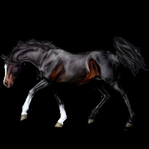 Riding Horse Arabian Horse Liver chestnut