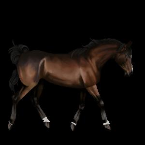 Riding Horse Marwari Bay