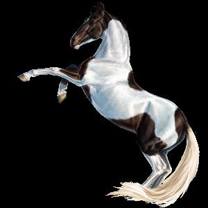 Riding Horse Holsteiner Cherry bay