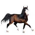 Cheval de selle Paint Horse Pie Tobiano Bai