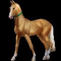 Riding Horse Akhal-Teke Cherry bay