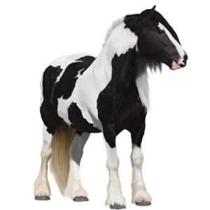Draft horse Drum Horse Black Tobiano