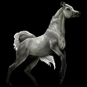 Jezdecký pegas Arabský plnokrevník Myšák