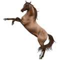 Riding Horse Akhal-Teke Dark Bay