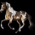 Cavalo de passeio Puro Sangue Inglês Tordilho negro