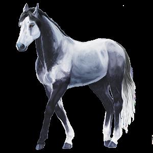 Jezdecký kůň Anglický plnokrevník Tmavý hnědák