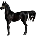Riding Horse Arabian Horse Black