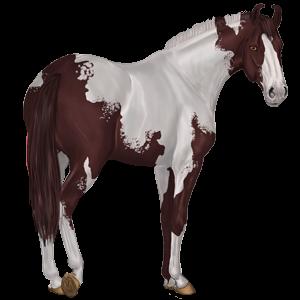 Riding Horse Marwari Liver chestnut Tobiano