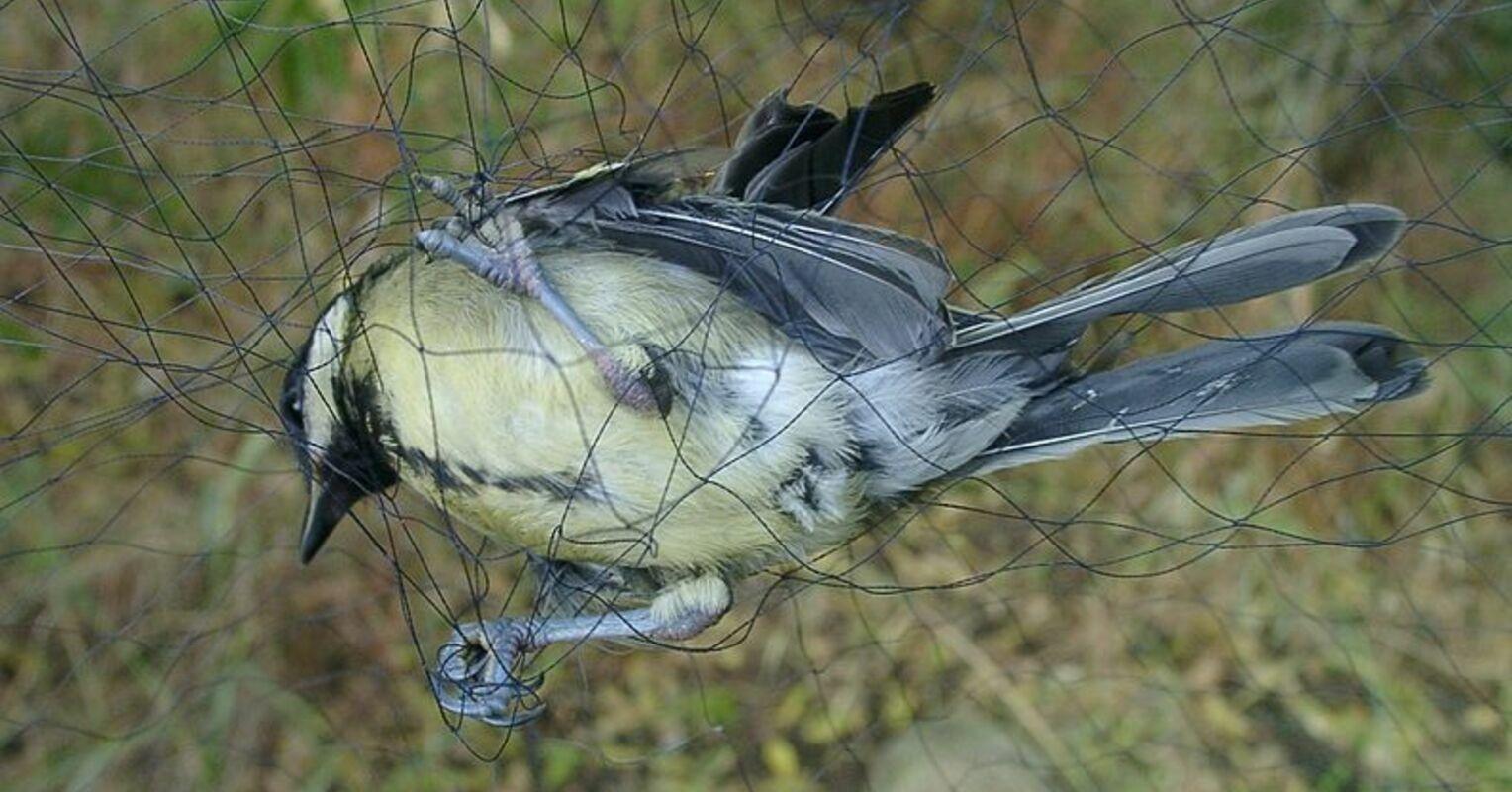 A bird caught in a mist net